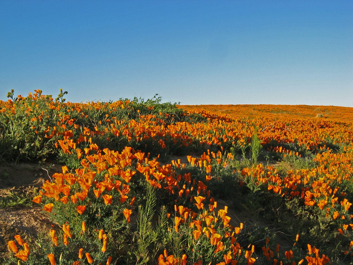Antelope Valley Poppy Reserve in California, poppies closing in evening