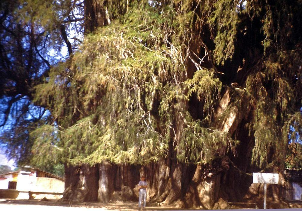 Tule Tree with person in 1948