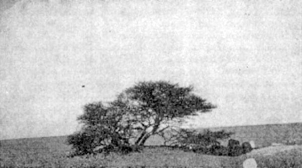 L'Arbre du Ténéré in 1939, Niger. Once the loneliest tree in the world.