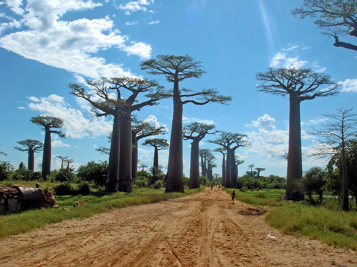 Avenue of the Baobabs near Morondava