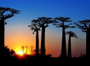 Avenue of the Baobabs, evening