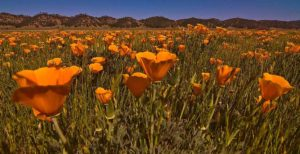 Poppies in Bear Valley, Colusa