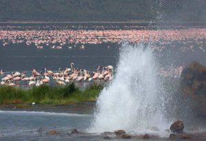 Lake Bogoria, geyser and flamingos