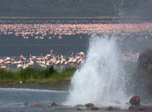 Lake Bogoria, geyser and flamingos