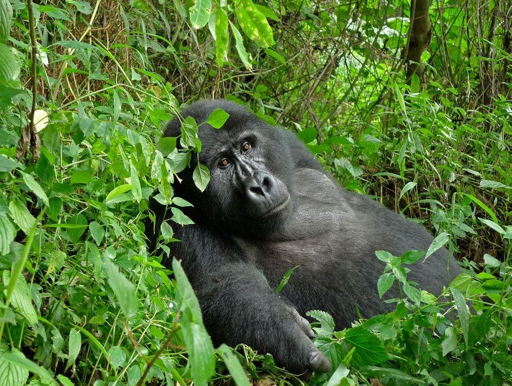 Mountain Gorilla in Bwindi Impenetrable Forest, Uganda