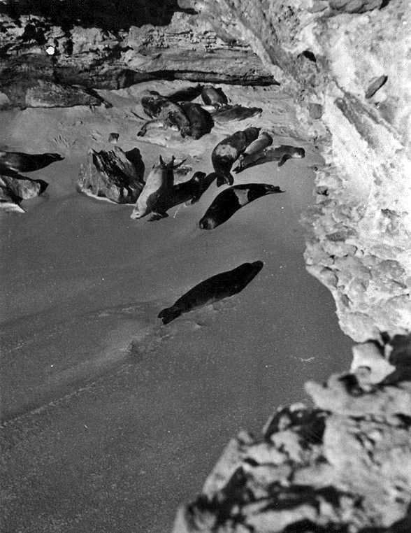 Cabo Blanco seals in 1945, Western Sahara