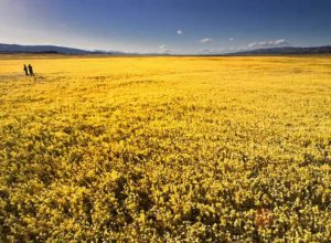 Goldfields, Carrizo Plain wildflower meadows in California