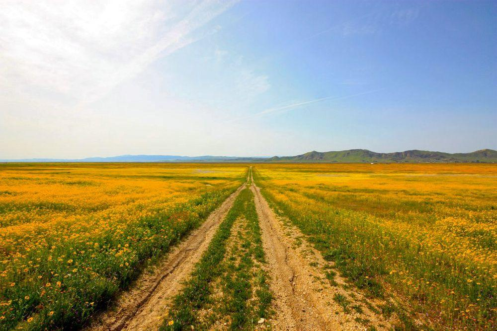 Carrizo Plain wildflower meadows in springtime, California