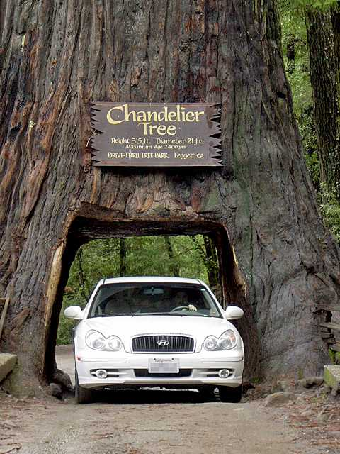 Chandelier Tree, California