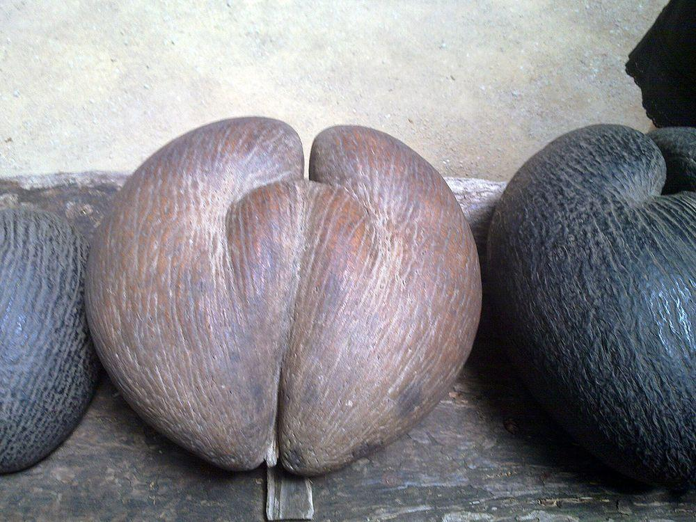 Nut of Coco de mer palm - the largest seed in the world