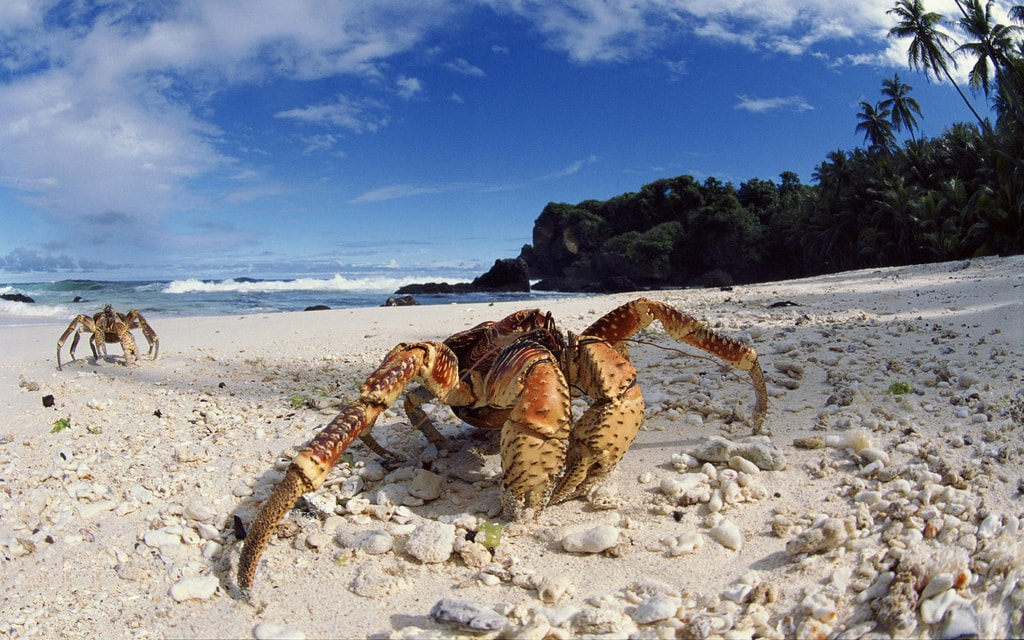 Coconut crabs, Christmas Island