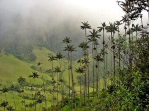 Highest palms in the world in Cocora Valley, Colombia