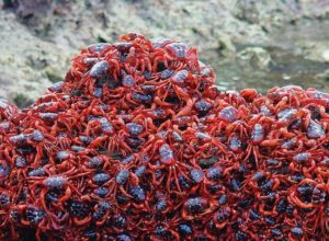 Red Crabs during the migration, Christmas Island