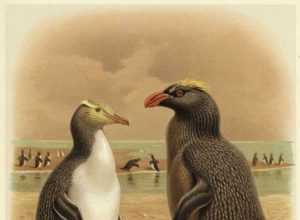 Erect-crested penguin shown in the forefront, yellow-eyed penguin in the background. Bounty Islands.