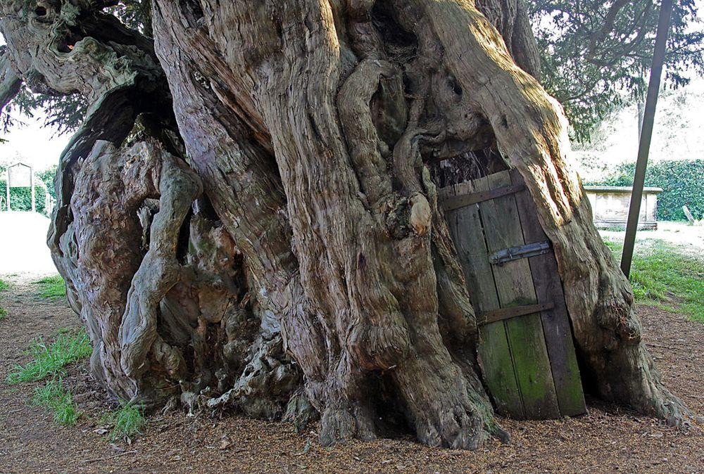 Trunk of Crowhurst Yew with door leading into the hollow, Surrey