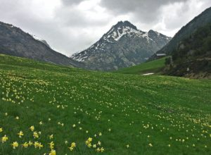 Daffodils in the mountains of Andorra