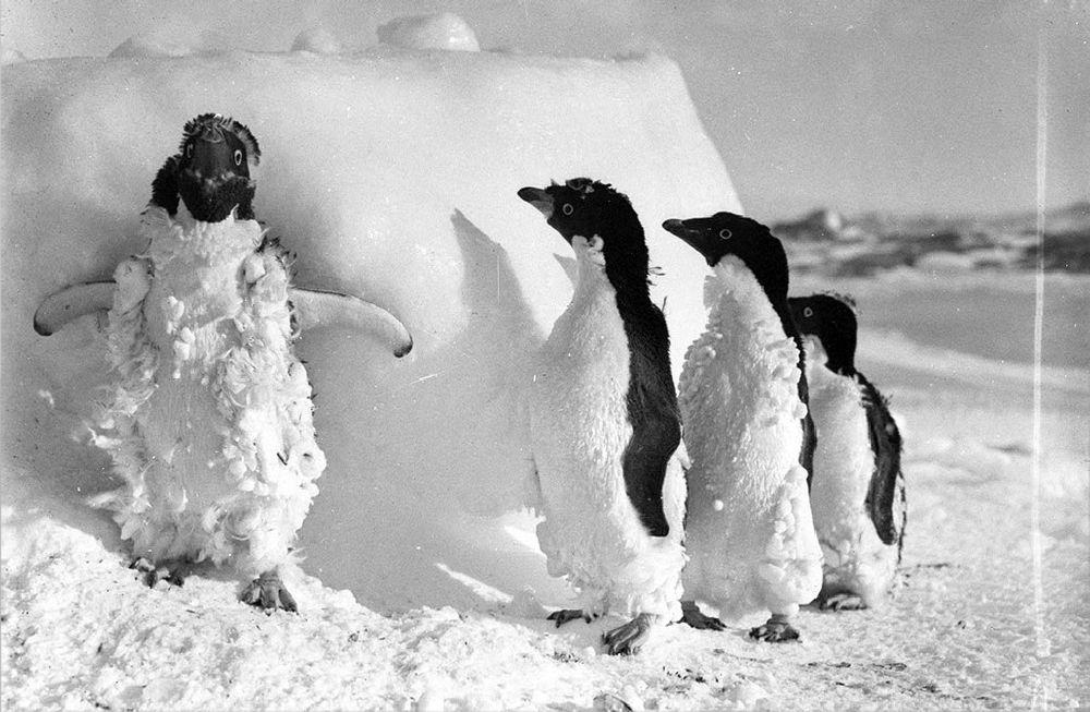 Cape Denison, penguins affter blizzard. Life here continues in spite of winds exceeding 320 km/h
