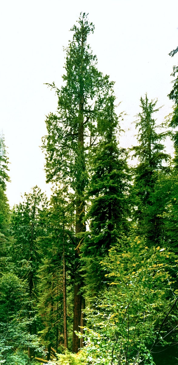 Doerner Fir, Oregon