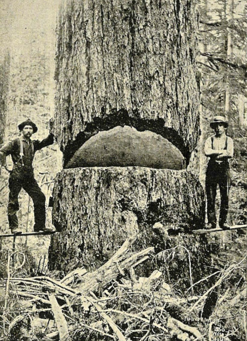 Enormous coast Douglas fir in 1900, Washington