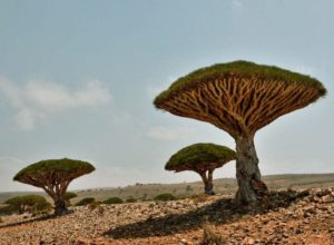 This is not alien planet. Group of Dragon's Blood Trees in Socotra