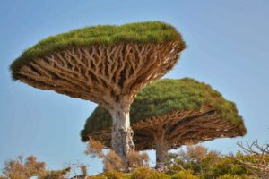 Dragon's Blood Trees in less dry habitat, with other characteristic plants of Socotra