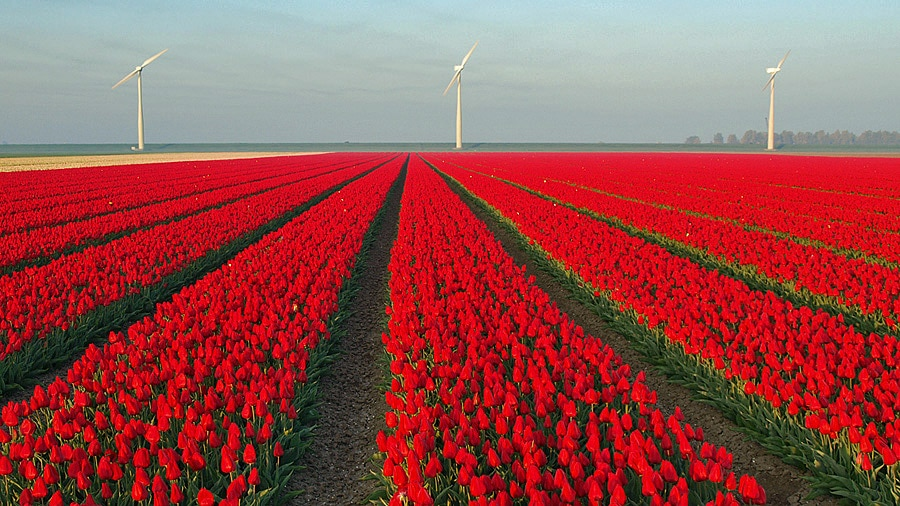 Fields of tulips, Flevoland
