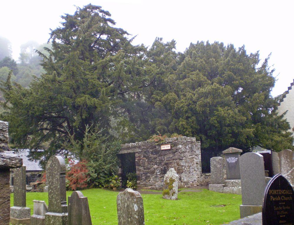 Fortingall Yew in 2008