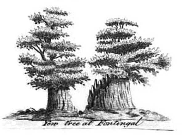 Fortingall Yew in 1744