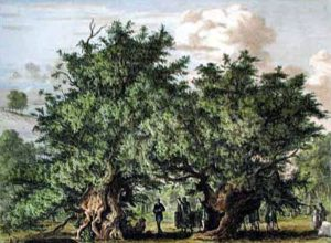 Fortingall Yew in 1822