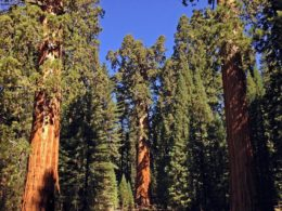 Giant Forest with General Sherman tree - the largest tree in the world in the centre