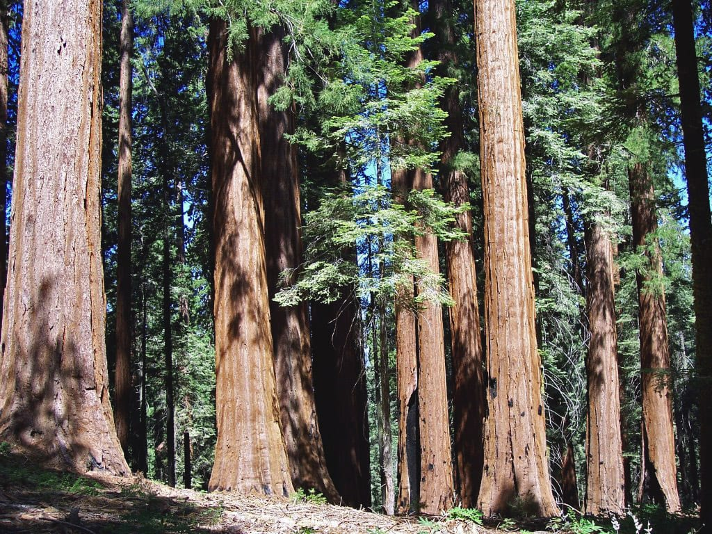 Giant Forest, California