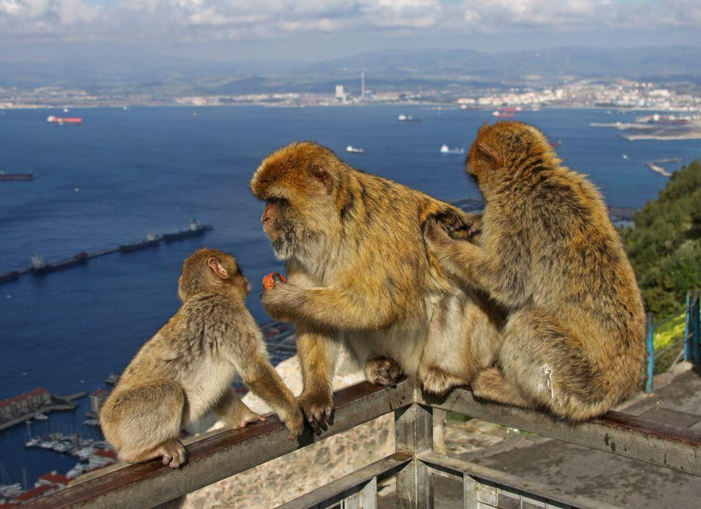 Family of Barbary macaques in Gibraltar