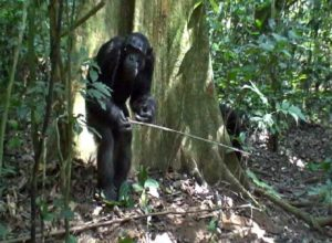 Chimpanzee using tools in Goualougo Triangle. Humans never lived in this forest