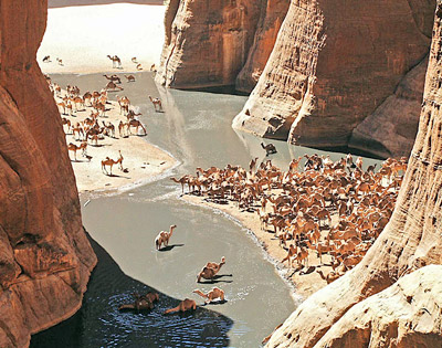 Camels in Guelta d'Archei, Chad