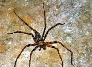 Inhabitant of Khoun Xe Cave - Heteropoda maxima, the largest spider in the world