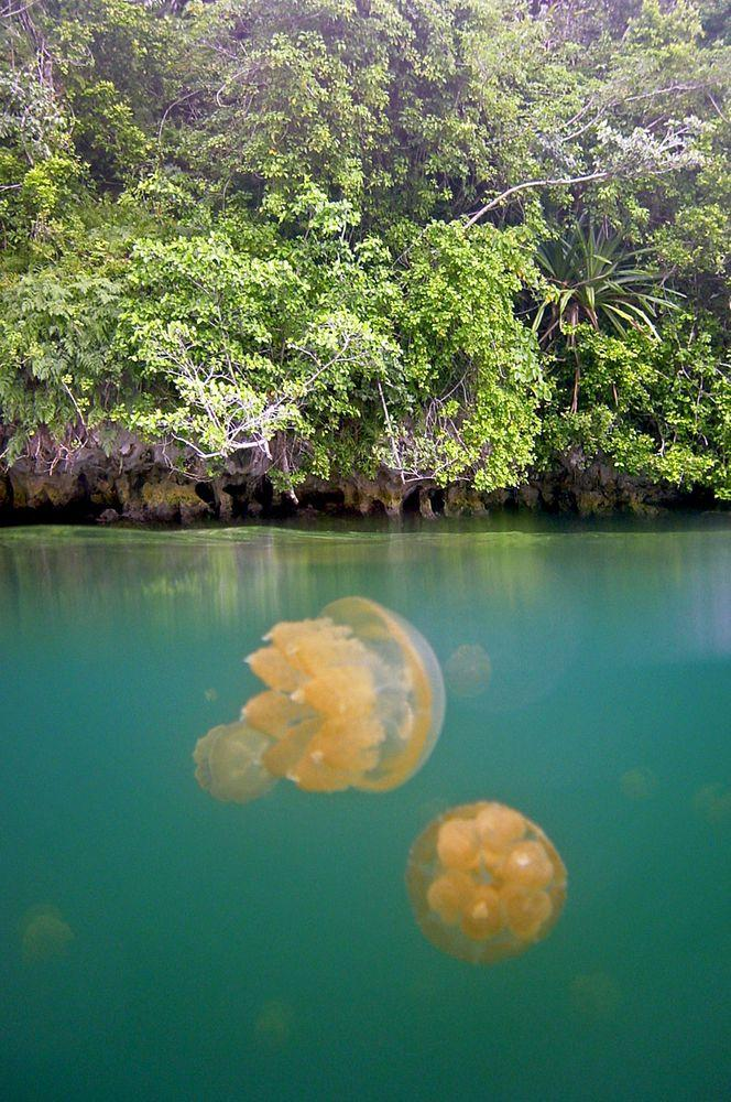 Eerie reality in Jellyfish Lake, Palau