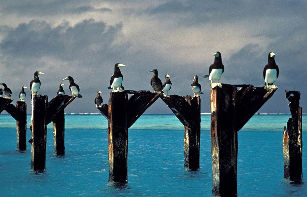 Brown boobies on the stacks of old pier, Johnston Atoll