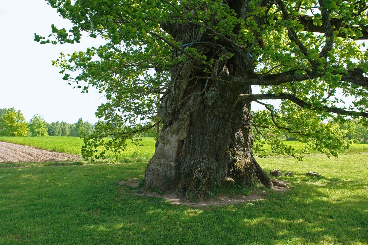 Kaive Oak - the largest tree in Latvia with a girth of 10.4 m
