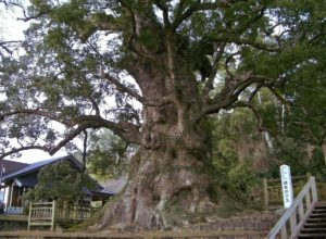 Kamou no Ohkusu - the largest camphor tree in Japan