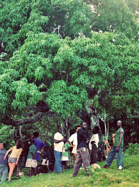 Kindah Tree in Accompong, Jamaica in 1993