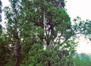 Baji Cypress (King Cypress) in Tibet