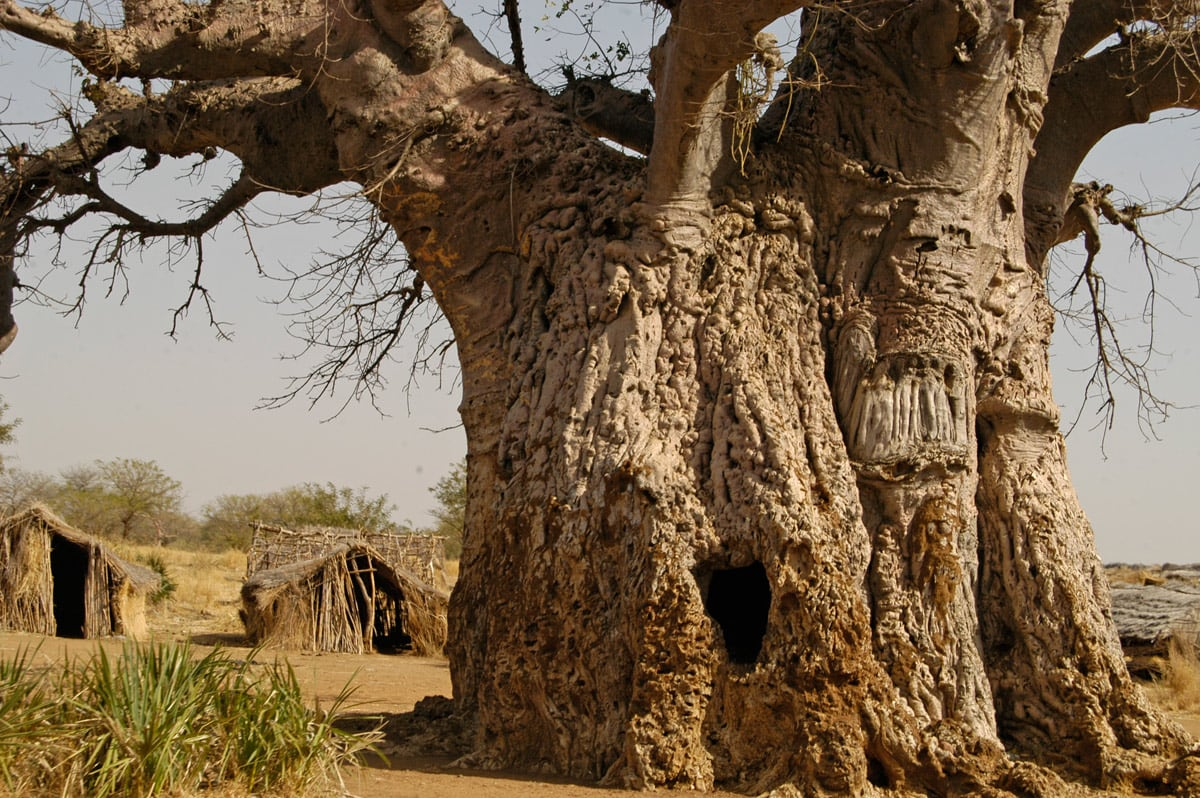 Kurchi Baobab in Nubi Mountains, Sudan. Girth of this tree is approximately 22 - 27 m
