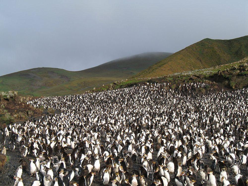 Royal penguins in Macquarie Island