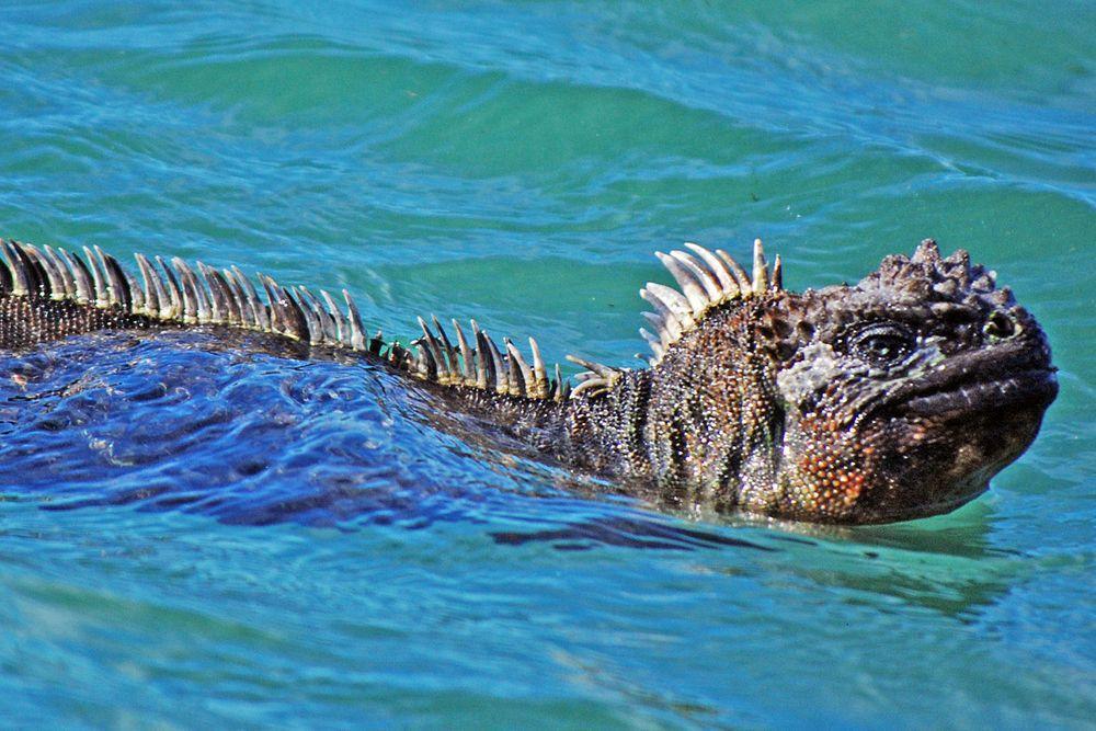 Marine iguana at Punta Espinoza