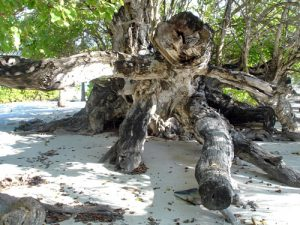 The Kaani tree in Maroshi, Maldives