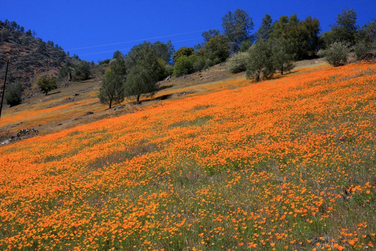Poppy meadow in Merced River valley, California