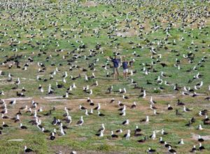 Albatrosses are everywhere, Midway Atoll