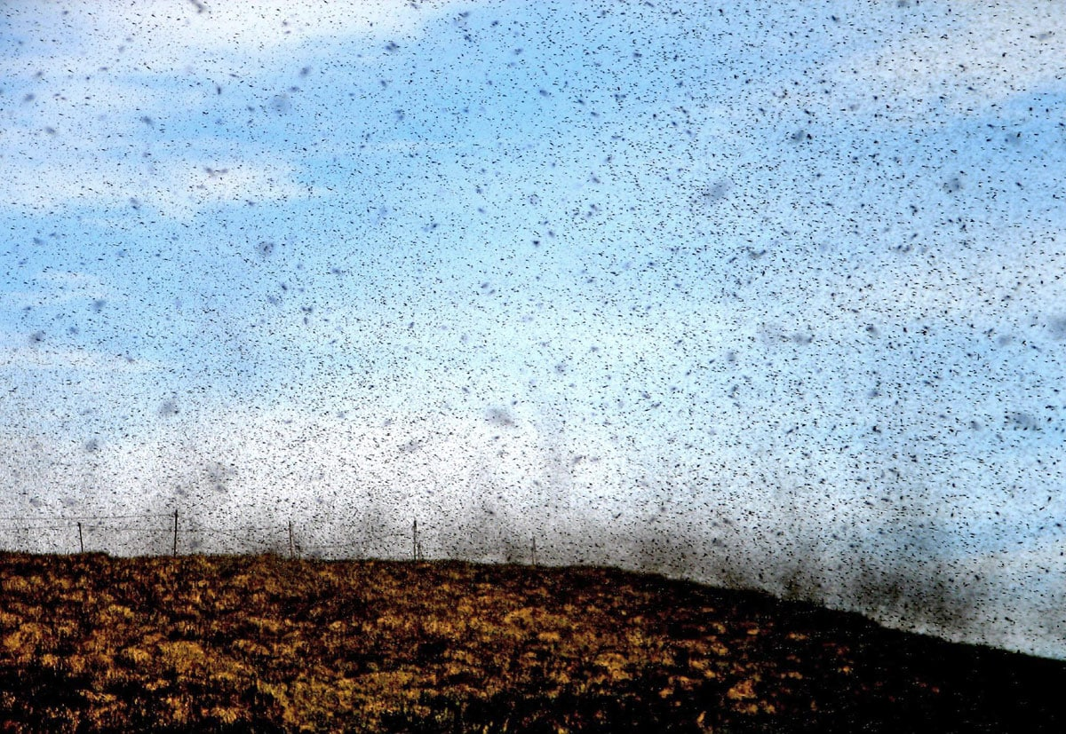 Midges of Mývatn, Iceland