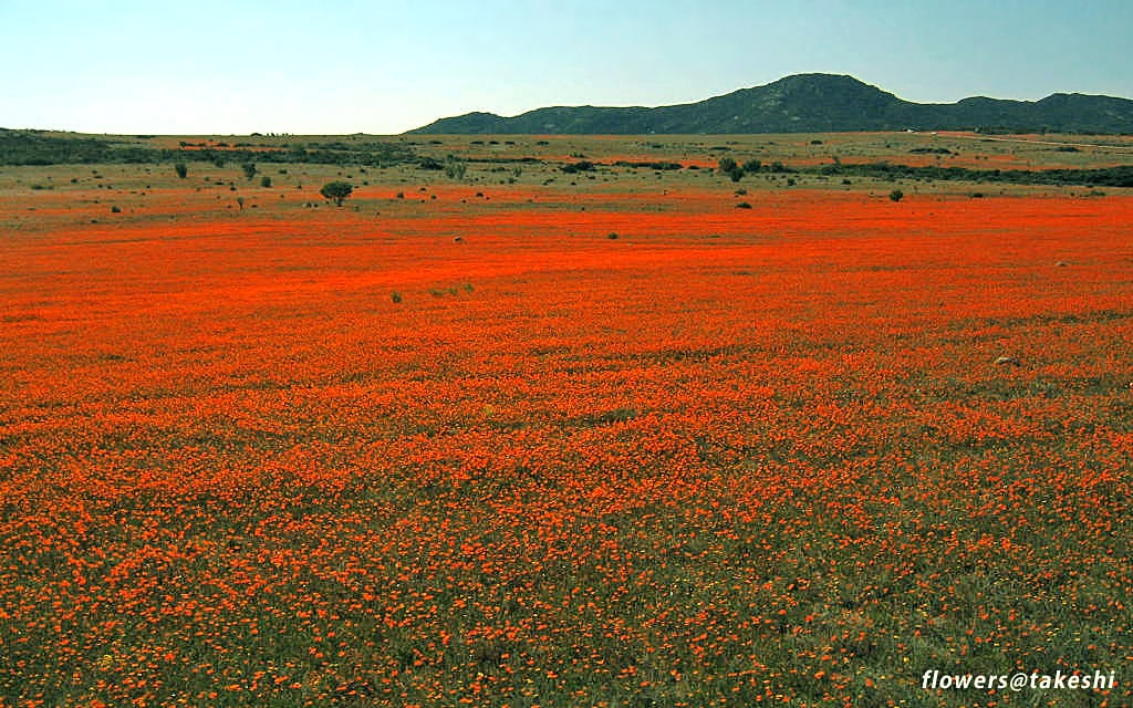 Spring flowers in Namaqualand, South Africa