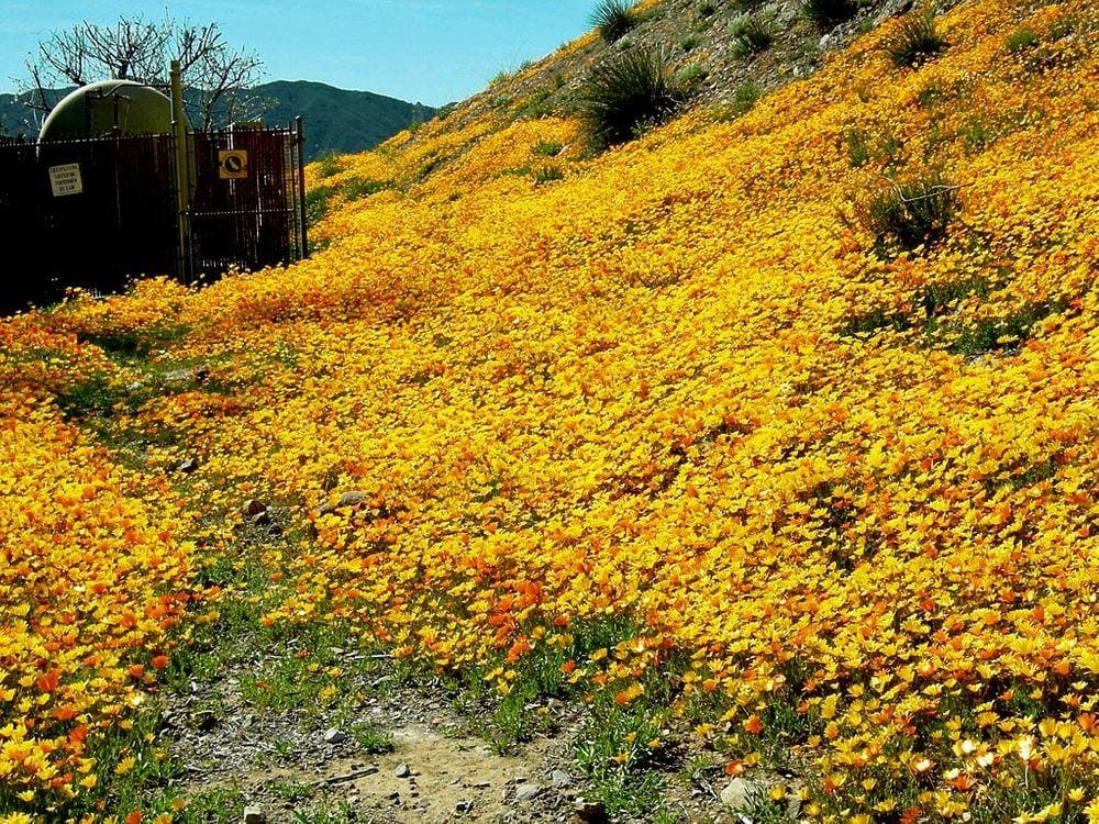 Daisies in Namaqualand, South Africa
